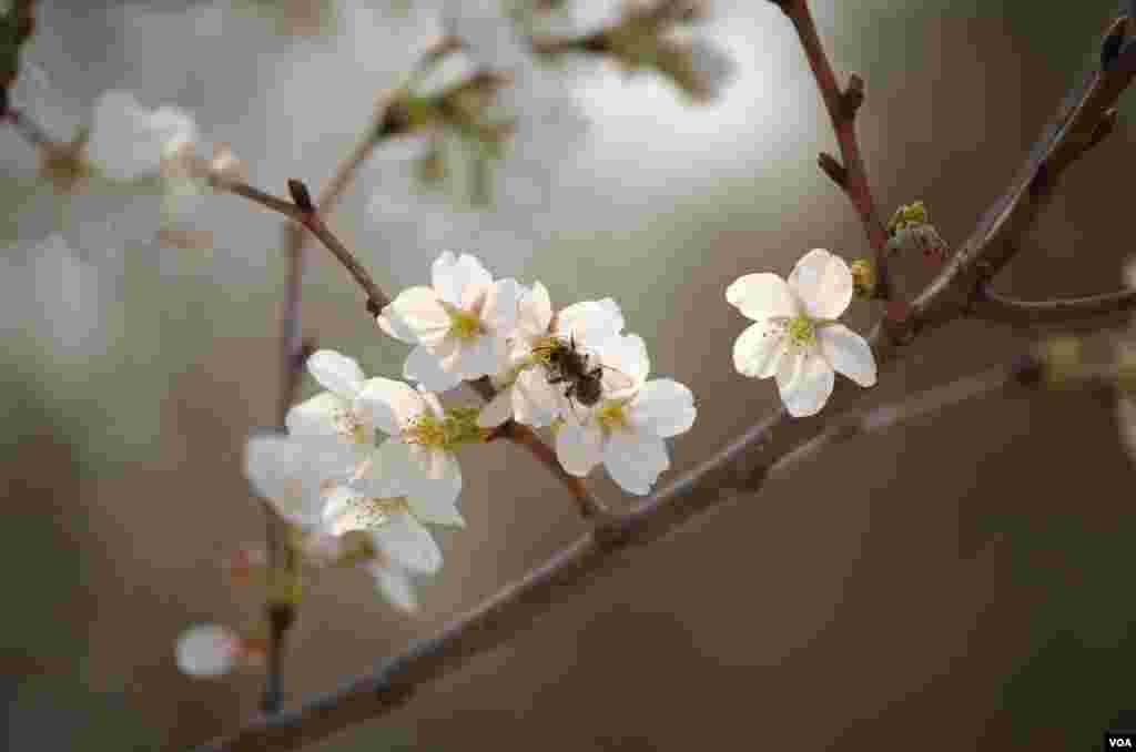 玉渊潭中盛放的樱花(曾谙 摄于2016年3月21日)