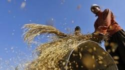 Kashmiri farmers cut the harvest in Shariefabad near Srinagar, India