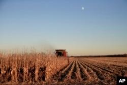 미국 네브래스카주 스쉴러에서 농부가 트랙터를 타고 옥수수를 수확하고 있다.