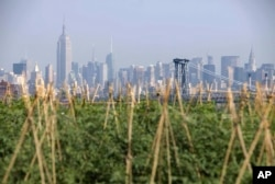 The Manhattan skyline is seen behind a Brooklyn Grange rooftop garden in the Brooklyn Navy Yards in the Brooklyn section of New York, Thursday, Aug. 2, 2012.