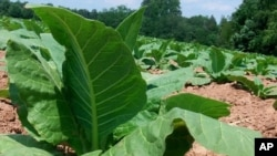 Châu Á có hàng triệu nông gia trồng thuốc lá, sản xuất hơn phân nửa sản lượng thuốc lá của thế giới