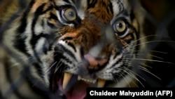 Harimau Sumatera betina yang siap dilepasliarkan di ekosistem hutan Leuser di Provinsi Aceh, 19 Juni 2020. (Foto: Chaideer Mahyuddin/AFP)