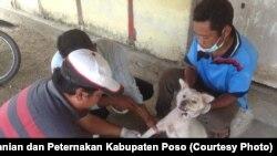 Petugas Kesehatan Hewan Dinas Pertanian dan Peternakan Kabupaten Poso melakukan vaksinasi Anjing di Kecamatan Lage. (Foto : Dinas Pertanian dan Peternakan Kabupaten Poso)