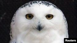 El búho nival, ave que rara vez se ve fuera del Ártico, está apareciendo con mayor frecuencia en los cielos de América del Norte
