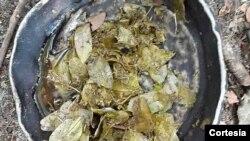 Folhas que estão a ser comidas por adultos e crianças nas zonas rurais do município de Bundas