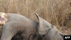 Một con voi bị giết ở miền bắc Cameroon, trong khu vực giáp ranh với Chad, hồi tháng 2 năm 2012