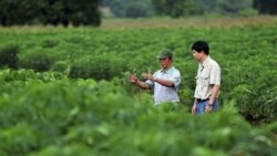 Scientists check cassava for signs of pests and diseases at a field in northeastern Thailand