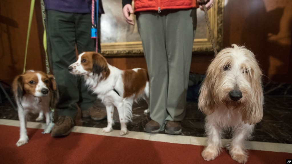 Juno, right, a grand basset griffon Vendeen , and Nederlandse kooikerhondje, Escher, left, and Rhett, center, are shown by their handlers during a news conference at the American Kennel Club headquarters, Wednesday, Jan. 10, 2018, in New York. (AP Photo/M