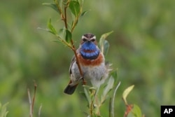 FILE - This July 7, 2016, photo provided by the U.S. Geological Survey shows a Bluethroat in Nome, Alaska.