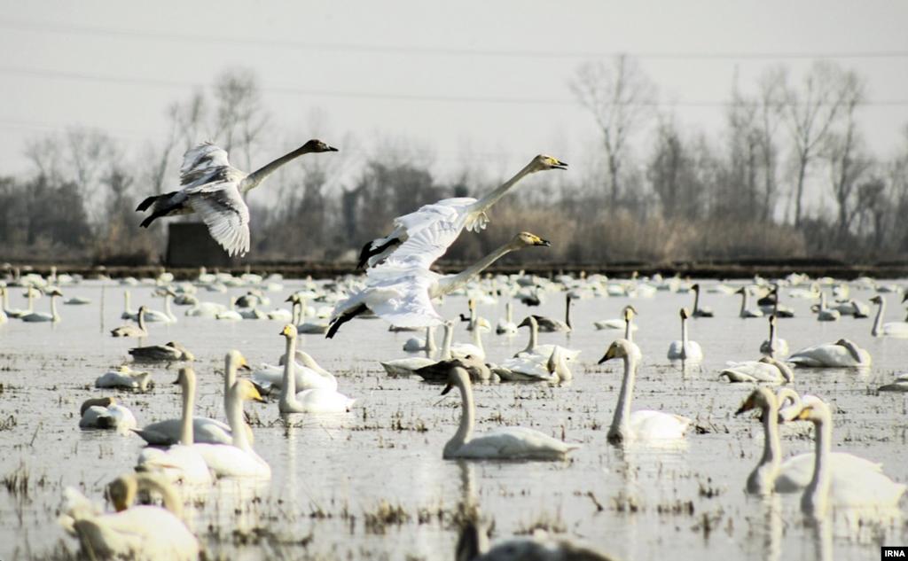 کوچ پرندگان به تالابهای مازندران عکس: غلامرضا رضایی آغوزگله