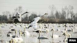 کوچ پرندگان به تالابهای مازندران