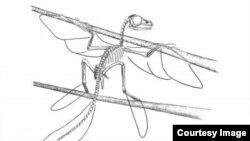 A skeletal reconstruction of Scansoriopteryx with outlines to indicate the extent of the feathers. (Stephen A. Czerkas)