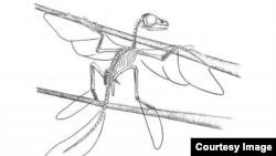 Hình vẽ phác thảo khung xương của Scansoriopteryx (Ảnh: Stephen A. Czerkas)