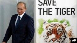 블라디미르 푸틴 러시아 대통령이 총리 시절인 지난 2010년 11월 상트페테르부르그에서 열린 호랑이 보호 국제회의에 참석했다. (자료사진)