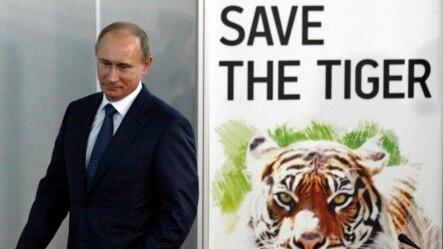 俄罗斯总统普京一直致力于老虎保护工作。图为2010年11月,时任俄罗斯总理的普京在俄罗斯圣彼得堡出席国际老虎论坛。在这次会议上,13个有野生老虎的国家签署了保护濒临灭绝的老虎宣言。