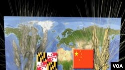Ukrštavanjem žita iz Kine sa žitom iz Marylanda želi se dobiti sjeme koje će davati velike prinose i biti otporno na bolest