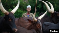 FILE - A man from the Peul tribe stands in front of cattle at a village outside Bambari, CAR, May 30, 2014. Armed men killed 12 people in villages near the central town of Bambari, local officials said on Marh 6, 2016.