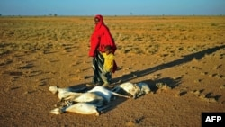 FILE - A woman and a boy walk past a flock of dead goats in a dry land close to Dhahar in Puntland, northeastern Somalia, Dec. 5, 2016.