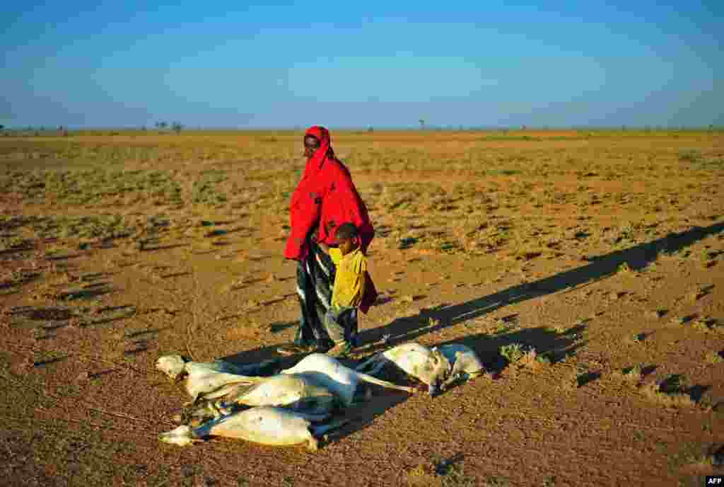 A woman and a boy walk past a flock of dead goats in a dry land close to Dhahar in Puntland, northeastern Somalia.