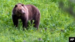 FILE - A grizzly bear is seen roaming near Beaver Lake in Yellowstone National Park, Wyoming, July 6, 2011.