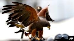 عقاب شکاری
