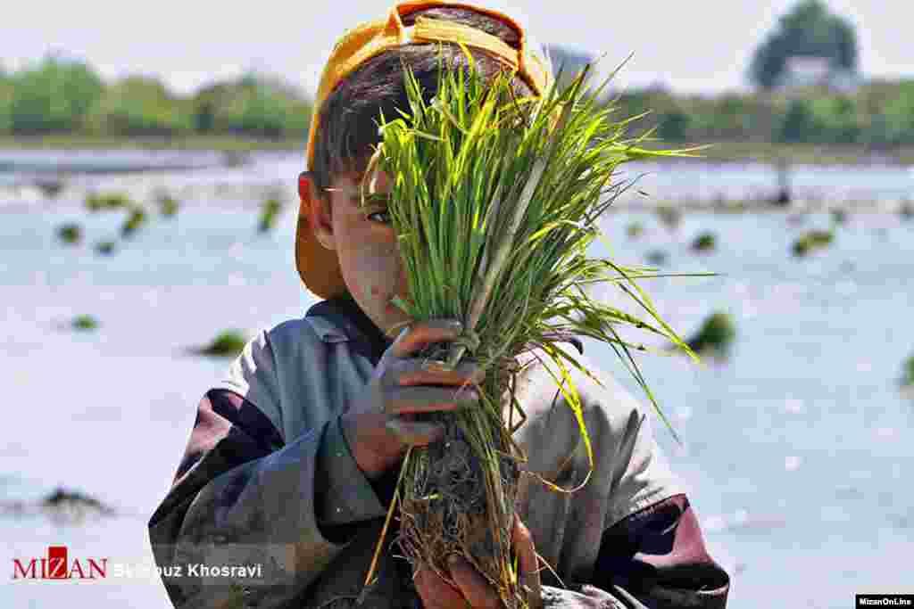 پسری خردسال در شالیزارهای مازندران کمک حال اقتصاد خانواده است. عکس: بهروز خسروی