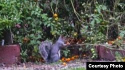"A squirrel is seen eating vegetables from the White House Garden (Via @<a href=""https://twitter.com/ObamaFoodorama/status/390174493768810496/photo/1"">ObamaFoodorama</a>)"