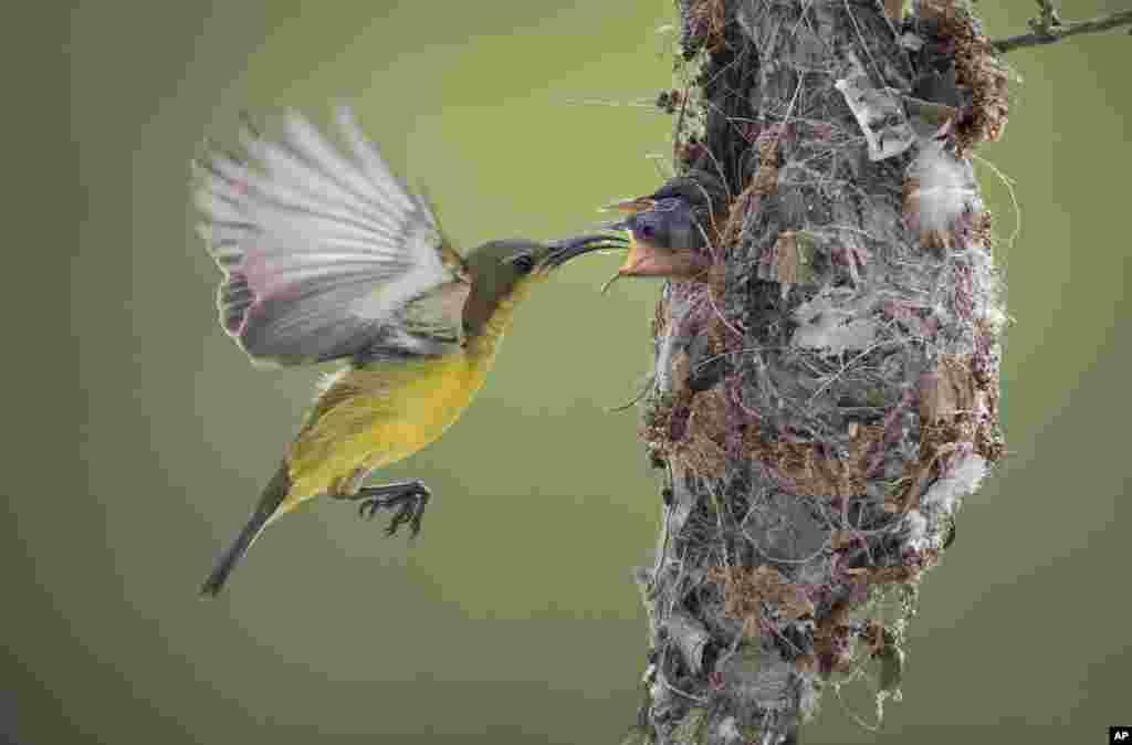 Seekor induk burung memberi makan dua anaknya di sarangnya di Klang, Selangor, Malaysia.