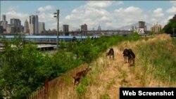 4 chú dê Eyebrows, Hector, Horatio, Minnie, được thuê mướn để dọn sạch cỏ dại trong công viên Cầu Brooklyn.