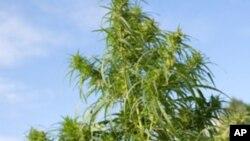 Planta de liamba