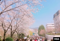 Cherry Blossoms at Sookmyung Women's University, Seoul, South Korea