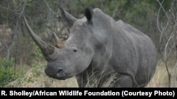 Rhinos are an endangered species due to poaching and illegal trafficking of its horns.