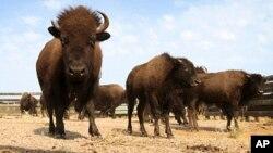 El bisón de Norteamérica, que una vez se contaba por millones en el continente fue cazado hasta casi la extinción a fines de los años 1.800.