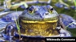 Binatang amfibi, sejenis katak yang disebut 'American Bullfrog' (Lithobates catesbeianus) ini populasinya terus menurun sejak tahun 1960-an.