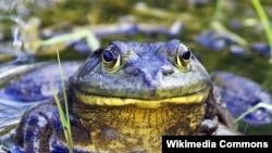 Amphibians like this American Bullfrog have been on a decline since the 1960s.