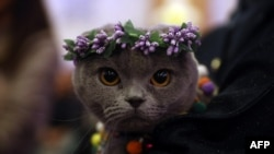 "A cat is presented during ""the ""3rd International Pursaklar Cat Beauty Fest"", on October 14, 2018 in Ankara."