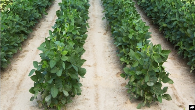 FILE - Soybean plants that were grown from soybean seeds genetically engineered to resist a common weed killer in an undated photo released by Dow AgroSciences.