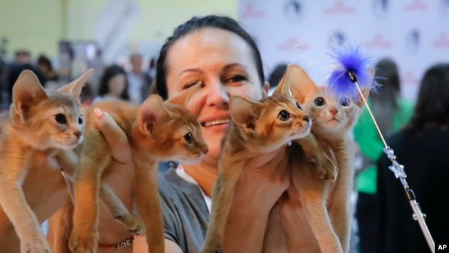 Abyssinian kittens follow a toy held by a judge during a cat show in Bucharest, Romania, Saturday, Sept. 28, 2019. (AP Photo/Vadim Ghirda)