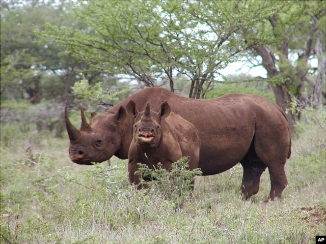 FILE - In this photo from U.S. Fish and Wildlife Service, a black rhino male and calf graze in Mkuze, South Africa.
