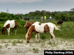 The wild horses of Assateague foraging for food on the island.