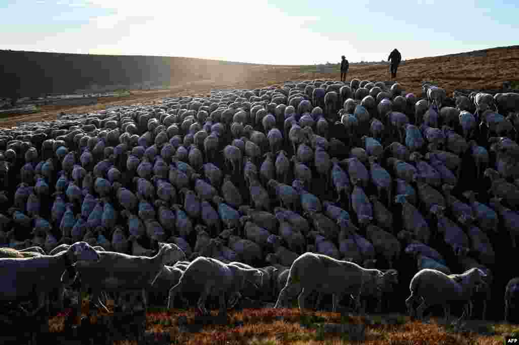 Shepherds herd sheep in Prevencheres, southern France, as shepherds and sheep breeders of the pastoral group of Finiels descend one of the largest herds of the Massif Central (2,500 ewes) to Prevencheres after two months of summer pasture on Mont Lozere.