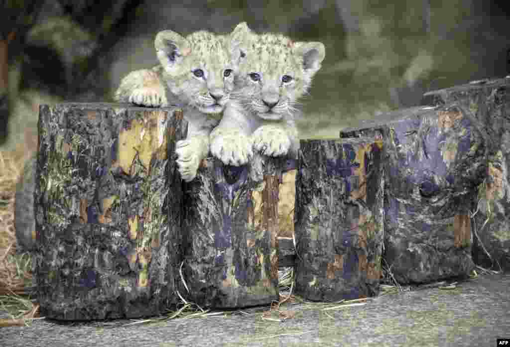 Two two-month-old lions cubs sit in their enclosure at the Zoo in Saint-Petersburg, Germany.