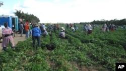 Haitian farm workers pick beans on a farm in Homestead, Florida, 21 Apr 2010