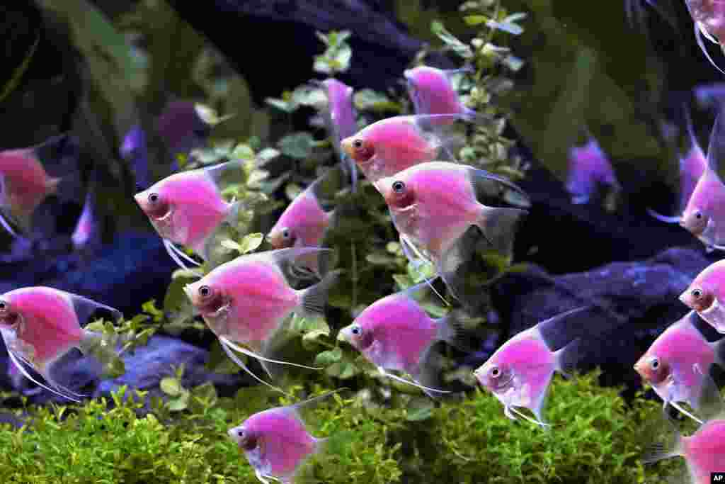 Genetically modified angel fish with a pink illumination are to be used in creating cancer markers during the opening of the Bio Taiwan expo in Taipei, Taiwan. The expo, which runs from July 18-21, showcases companies and institutions involved in the research and development of innovative healthcare, agricultural, industrial and environmental biotechnology products.