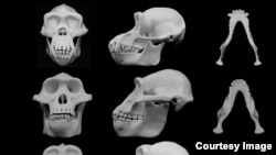 University of Utah researchers contend that human faces evolved to minimize injury from punches to the face during fights between males. Courtesy - University of Utah.