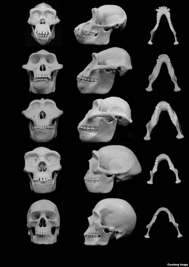 University of Utah researchers contend that human faces evolved to minimize injury from punches to the face during fights between males. Top to bottom: chimpanzee, our closest primate relative; hominid ancestors Australopithecus afarensis, Paranthropus boisei, Homo erectus; and modern human. (University of Utah)