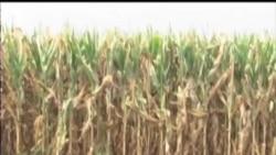 2012-08-15 美國之音視頻新聞: 美國官員稱中西部旱情並未結束