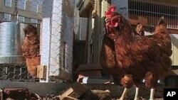 """""""بامیان نوین"""" اولین کوپراتیف مالداری و مرغداری زنانه در بامیان"""