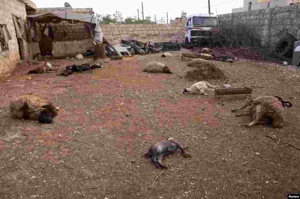Animal carcasses lie on the ground, killed by what residents said was a chemical weapon attack days earlier,Khan al-Assal Syria, March 23, 2013.