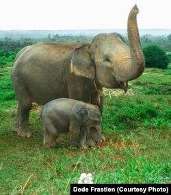 Gajah Sumatera di Bentang Seblat, Bengkulu.(Foto: Bruce Levick/Koalisi Penyelamat Bentang Seblat)